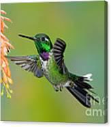 Purple-bibbed Whitetip Hummingbird Canvas Print