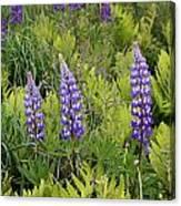 3 Purple Lupine Canvas Print