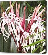 Queen Emma Crinum Lilies Canvas Print