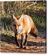 Red Fox In Prospect Park Canvas Print