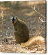 Red-fronted Brown Lemur Canvas Print