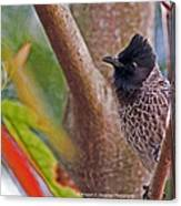 Red Vented Bulbul Canvas Print