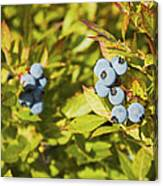 Ripe Maine Low Bush Wild Blueberries Canvas Print