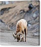 Rocky Mountain Big Horned Sheep Canvas Print