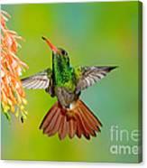 Rufous-tailed Hummingbird Canvas Print