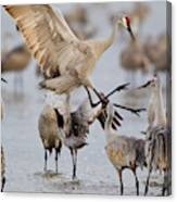 Sandhill Cranes Dancing On The Platte Canvas Print