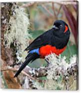 Scarlet-bellied Mountain-tanager Canvas Print