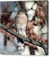 Sharp-shinned Hawk 2 Canvas Print