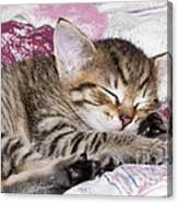 Sleeping Kitten Canvas Print