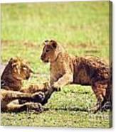 Small Lion Cubs Playing. Tanzania Canvas Print