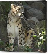 Snow Leopard On The Prowl Canvas Print