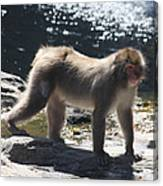 Snow Monkey Canvas Print