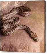 Spotted Python Antaresia Maculosa Canvas Print