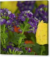 Sulphur Butterfly In The Phoebis Family Canvas Print