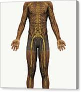 The Nerves Of The Body Canvas Print