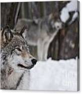 Timber Wolf Pictures Canvas Print