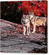 Timber Wolves Under A Red Maple Tree - Pano Canvas Print