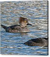 Trio Of Hooded Mergansers Canvas Print