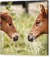 Two Colts Canvas Print
