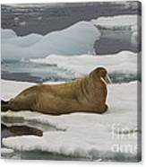 Walrus Resting On Ice Floe Canvas Print