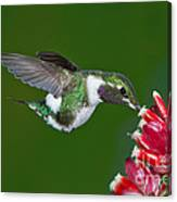 White-bellied Woodstar Canvas Print