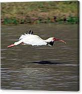 White Ibis In Flight Canvas Print