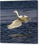 White Morph Redish Egret Canvas Print