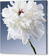 White Peony Flower Canvas Print