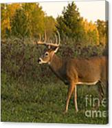 White-tailed Buck In Fall Canvas Print