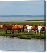 Wild Horses Of Assateague Island Canvas Print
