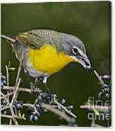 Yellow-breasted Chat Canvas Print