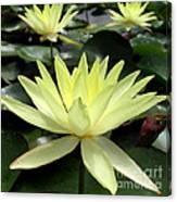3 Yellow Lotus Canvas Print