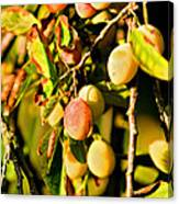 Yellow Plums Canvas Print