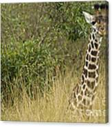 Young Giraffe In Kenya Canvas Print