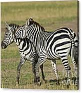 Zebra Males Fighting Canvas Print
