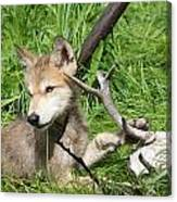 Gray Wolf Pup Canvas Print