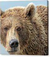 Grizzly Bears Also Called Brown Bears Canvas Print