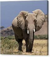 Elephant Dafrique Loxodonta Africana Canvas Print