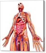 Male Anatomy Canvas Print