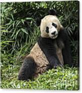 Giant Panda Canvas Print