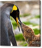 King Penguin Canvas Print