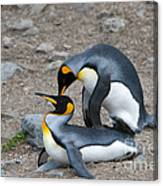 King Penguins Canvas Print