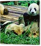 3722-panda -  Colored Photo 1 Canvas Print