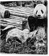 3722-panda -  Graphite Drawing 2 Sl Canvas Print