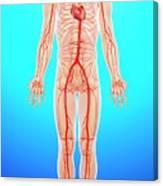 Human Arteries Canvas Print