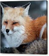 A Red Fox  On The Summit Of Mt Canvas Print