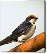 A Wire-tailed Swallow Perching Canvas Print