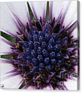 African Daisy Named Soprano White Canvas Print