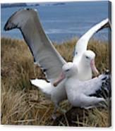 Albatros Royal Diomedea Epomophora Canvas Print