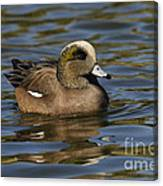 American Widgeon Canvas Print